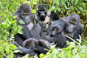 tourism nature Kubwa Travels Visit Vacation Gorilla trekking