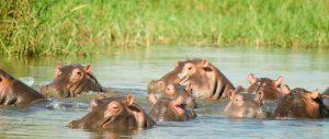 Hippos Destinations Trips Africa Big Kubwa Five Safaris travels