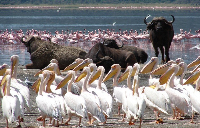 birding lake nakuru Africa Safaris Tour Big Five Travel Holiday Adventure Wildlife Nature Honeymoon tour company Vacation trip tourism nature Kubwa
