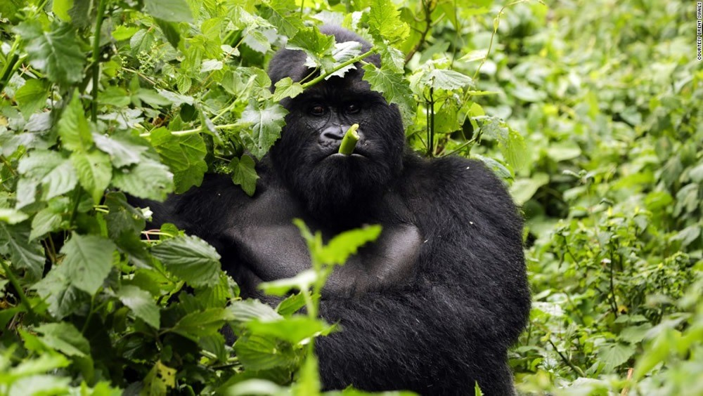 Visit Volcanoes National Park In Rwanda Big Five Wildlife Tours
