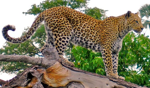 leopard tourism adventure Kubwa Travels Visit Vacation