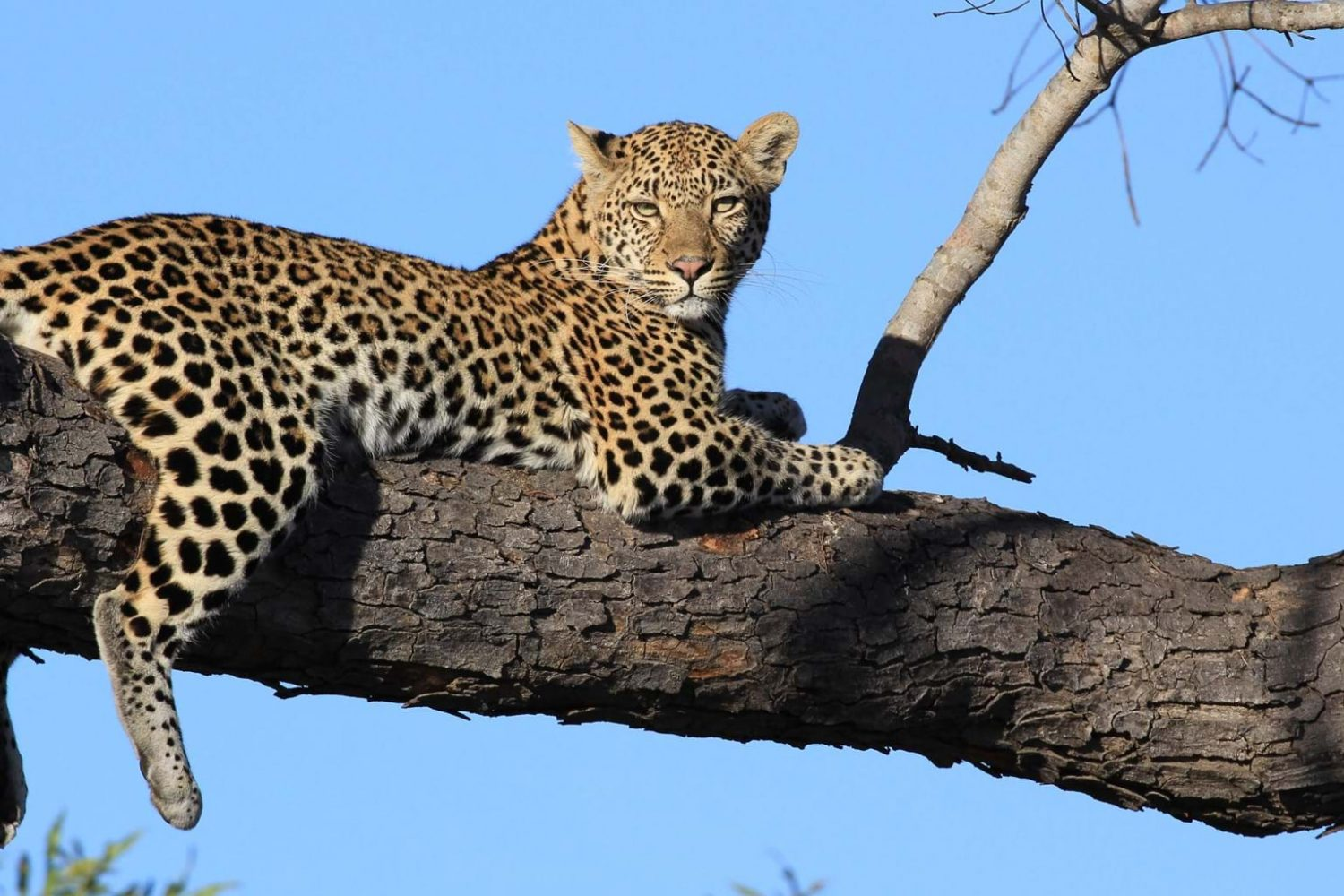 Become Our Travel Agent Leopard Adventure Wildlife