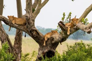Destinations Trips Africa Big Kubwa Five Safaris Lions