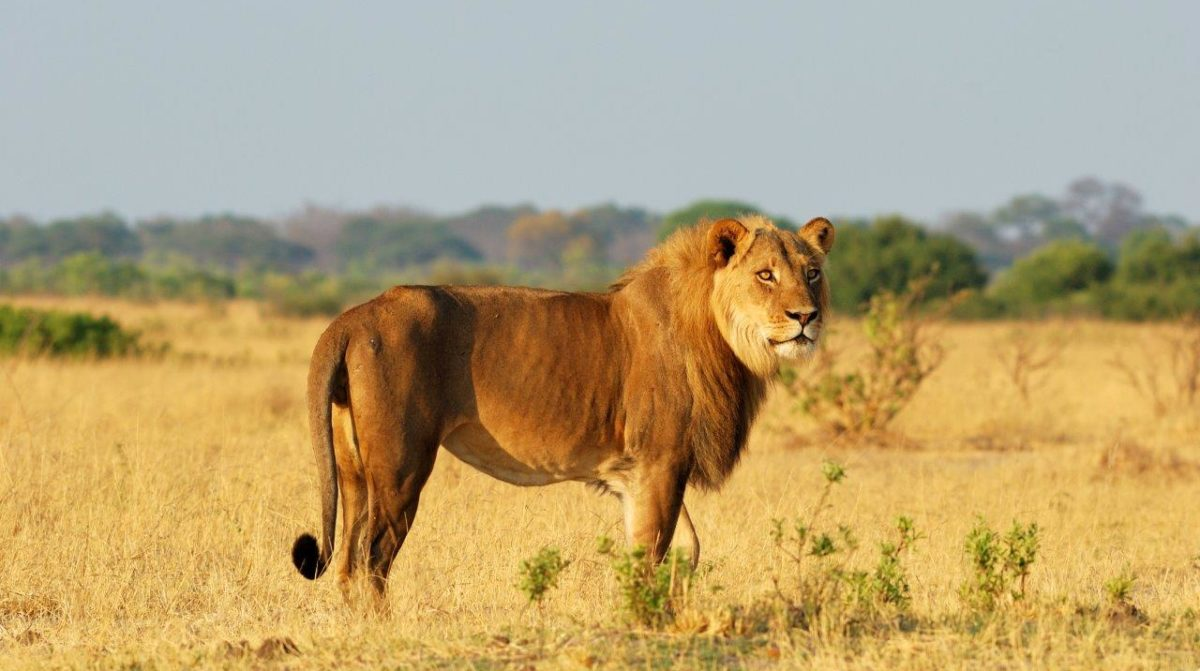 Lions Destinations Trips Africa Safaris Big Five