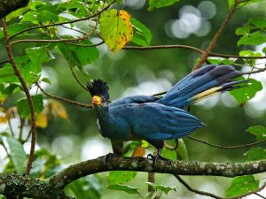 great blue turaco Wildlife Tours destinations birding