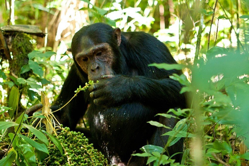 chimpanzee Visit Kibira National Park in Burundi Africa Safaris Tours Big Five Travels