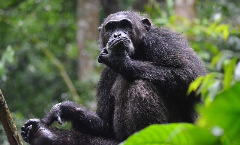 Nyungwe Forest National Park In Rwanda Chimpanzee